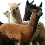 Creswick Wool Mill alpacas
